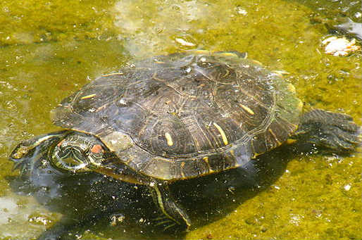 Alexis Sánchez cursed by a turtle such as this