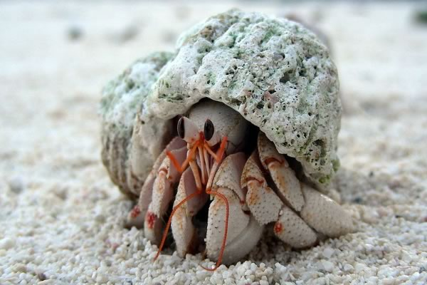 A Manchester City crab was found the Indonesian island of Java, it was a hermit crab like this one