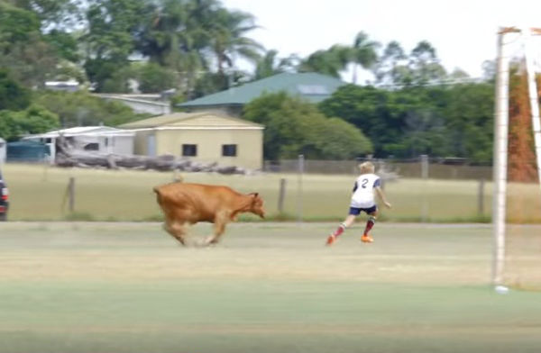 A charging bull invades the pitch at a youth match in Queensland