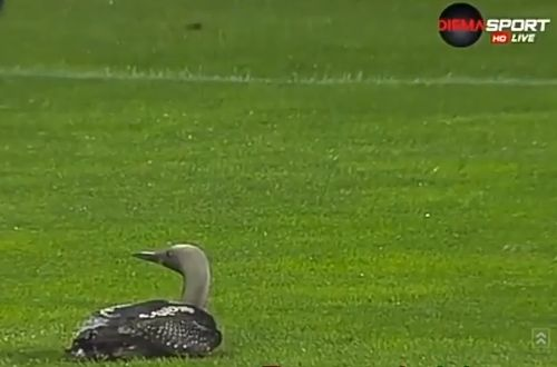 Duck on pitch during Bulgarian clash between Ludogorets and Lokomotiv GO
