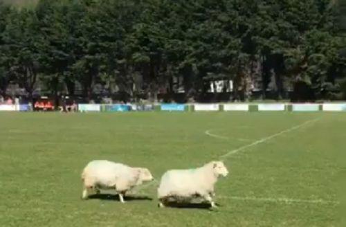Sheep on the pitch at Ffordd Padarn during a Welsh Alliance League Division 1 match between Llanberis and Llandudno Junction