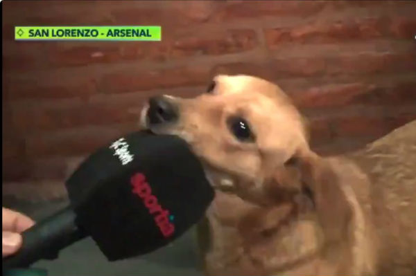 Interview with dog who interrupted San Lorenzo v Arsenal de Sarandi