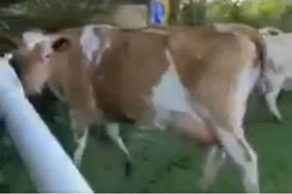 Cows invade pitch in Guernsey match