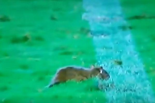 Mouse on the pitch at Vasco da Gama 2-0 Bahia