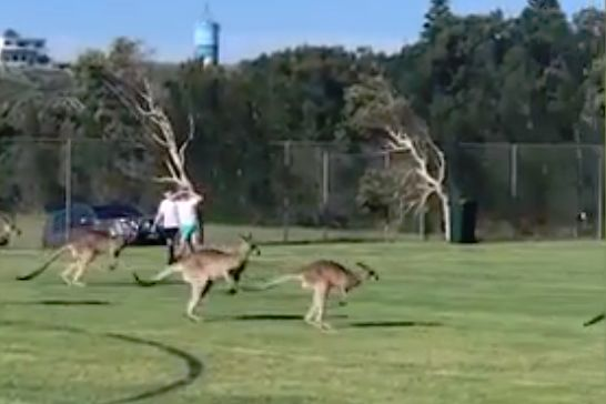 A family of kangaroos invade the pitch before a children's match in Australia