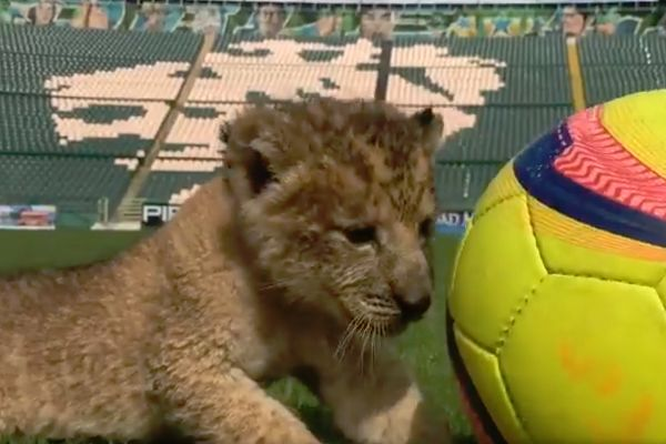 Club León name a Lion cub, Sambu