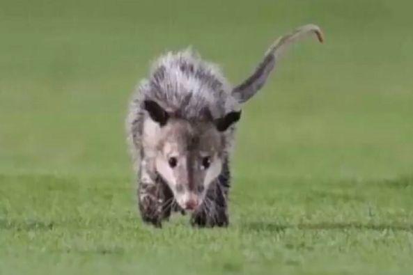 A possum nicknamed El Jarochito invades the pitch at Veracruz v Pueblo
