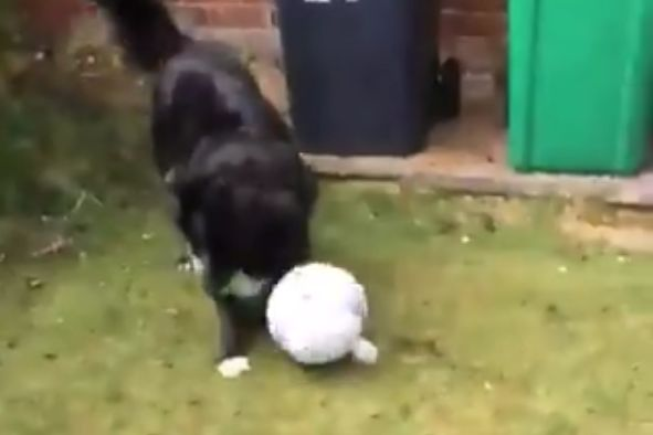 A dog passes a football with a postman delivering to its house