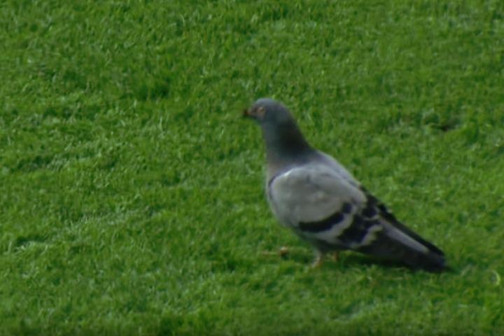Pigeon on pitch during Borussia Dortmund vs Wolfsburg