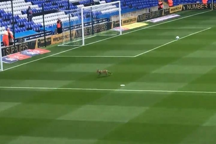 Fox on pitch at St Andrew's before Birmingham vs Stoke