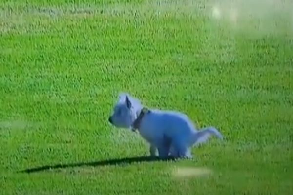 Dog defecates on the pitch during Auckland City's 2-0 win at Eastern Suburbs