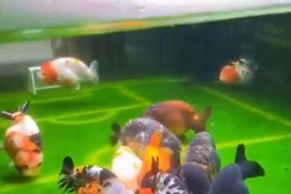 Fish play football on aquarium pitch