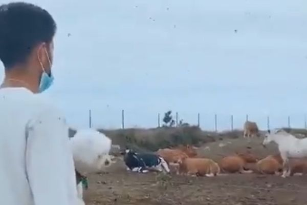 Quique Setién's son Laro asks cows if Barcelona will win the Champions League