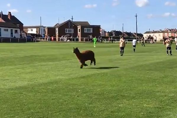 Oscar the alpaca invades the pitch during Carlton Athletic 0-2 Ilkley Town