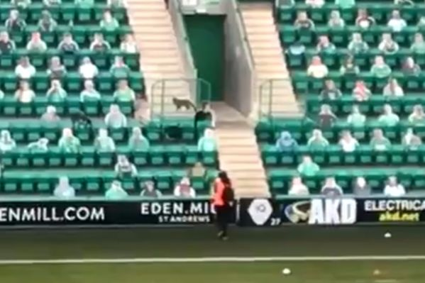 Steward watches fox in stands pre-match at Hibernian's Easter Road before game against Aberdeen