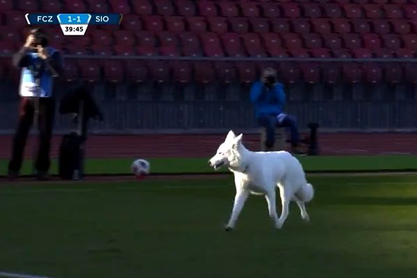 FC Zürich chairman Ancillo Canepa's dog got onto the pitch during a Swiss Super League match against Sion