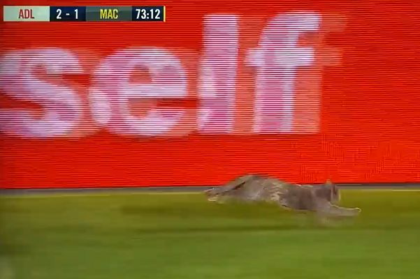 Cat runs down touchline at Adelaide United vs Macarthur