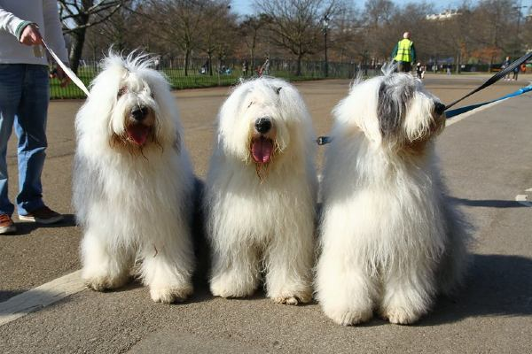 Dogs similar to the Dulux dog, whose brand mocked Tottenham Hotspur following the announcement of a sponsorship deal
